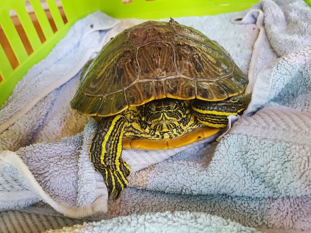 Bei der etwa 25 cm großen Schildkröte handelt es sich um eine Gelbwangen-Schmuckschildkröte. Foto: Polizei