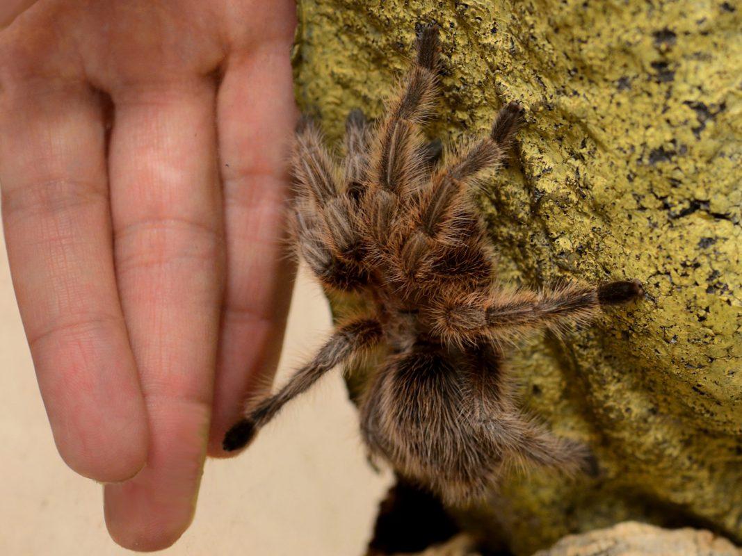 Lässt sich die Spinnenangst bald therapieren? Foto: A. Stefanescu