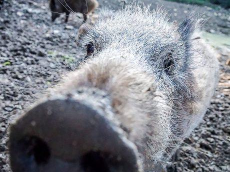 Wildschwein. Symbolfoto: Pascal Höfig