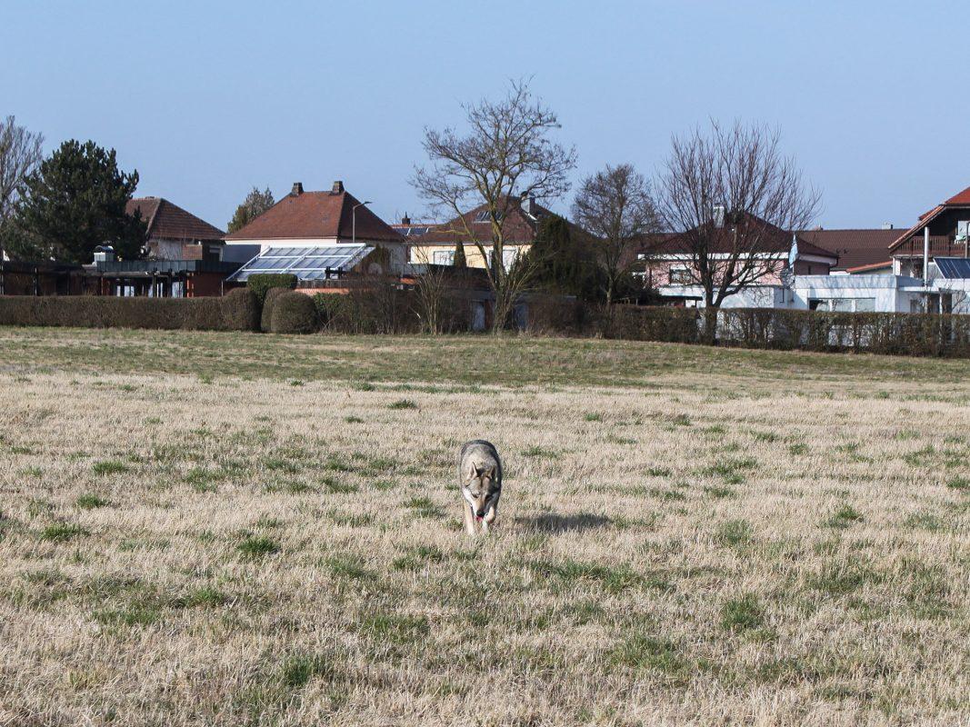 Wolf in der Gegend um Estenfeld gesichtet. Foto: Eva Müllerich
