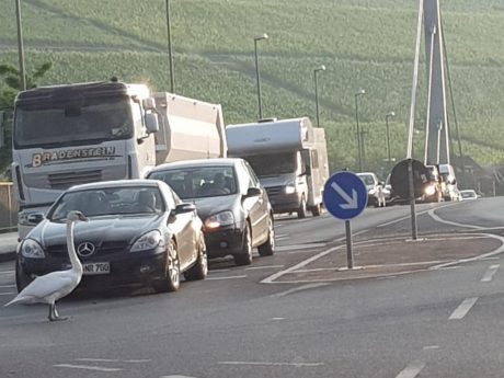 Schwan hält Verkehr auf. Foto: Manuel Kraus