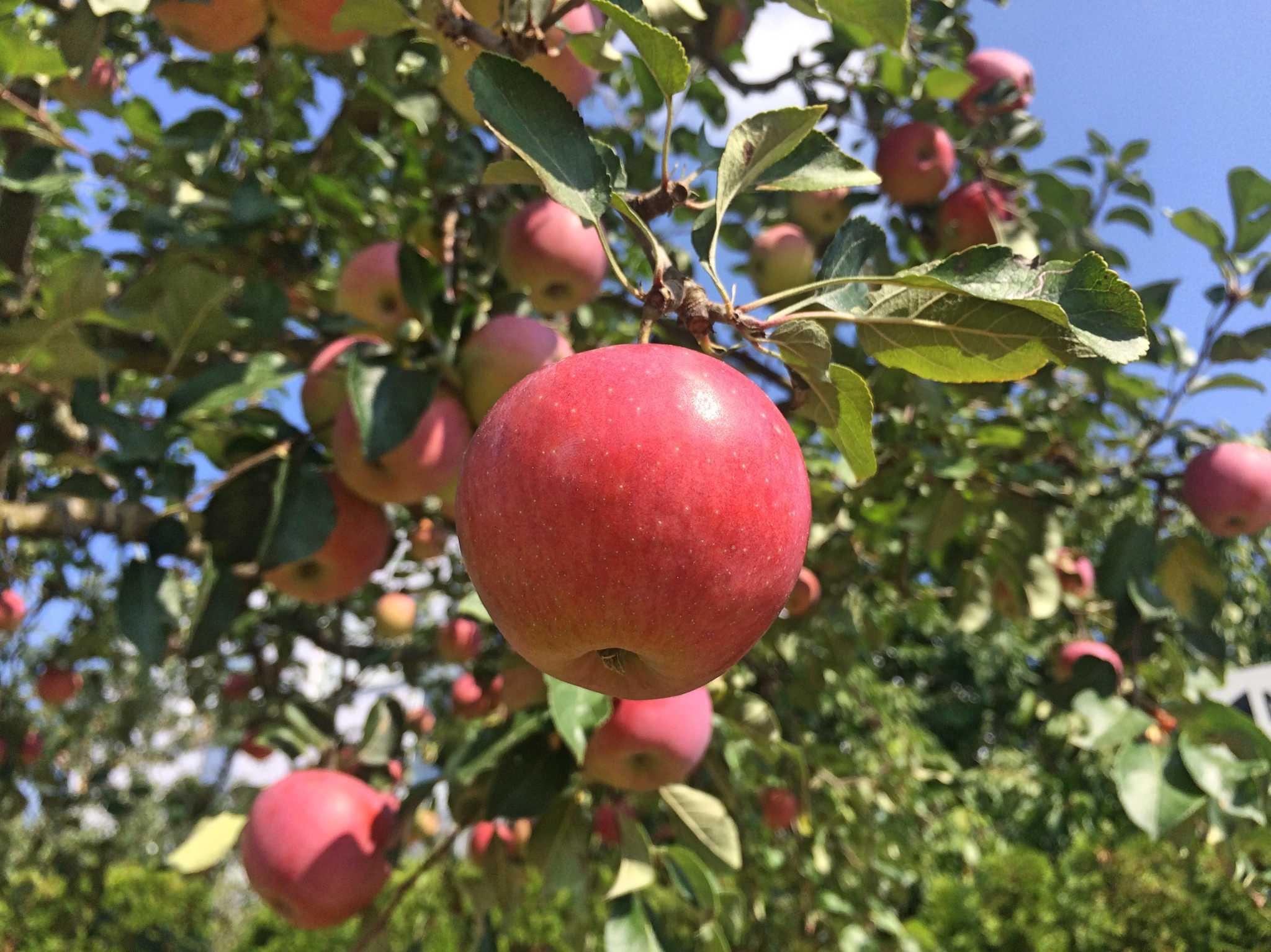 Äpfelbäume aus der Region! - Foto: Nina Härtle