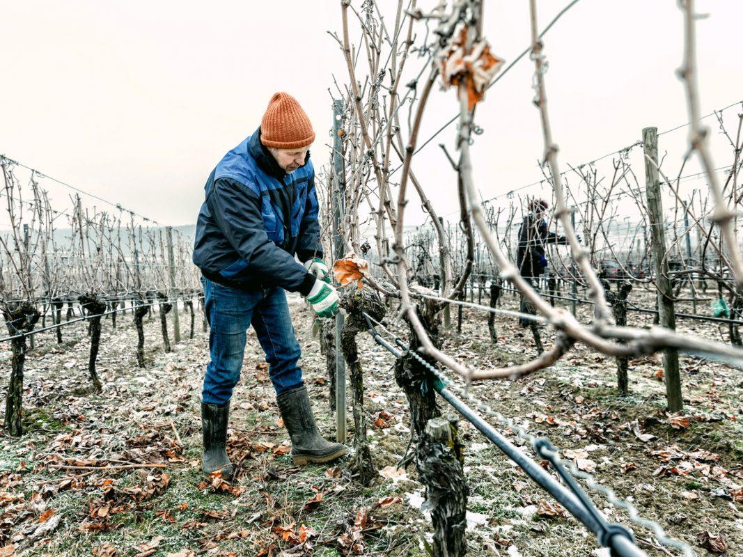 Die Weinmacher - Ein Jahr mit den fränkischen Winzern. Bei Rebschnitt in Sommerach. Bild: Stefan Bausewein/Julia Schuller
