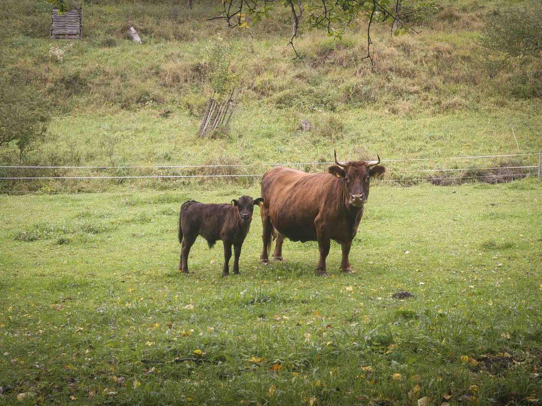 Viehzucht. Symbolbild: Dominik Ziegler