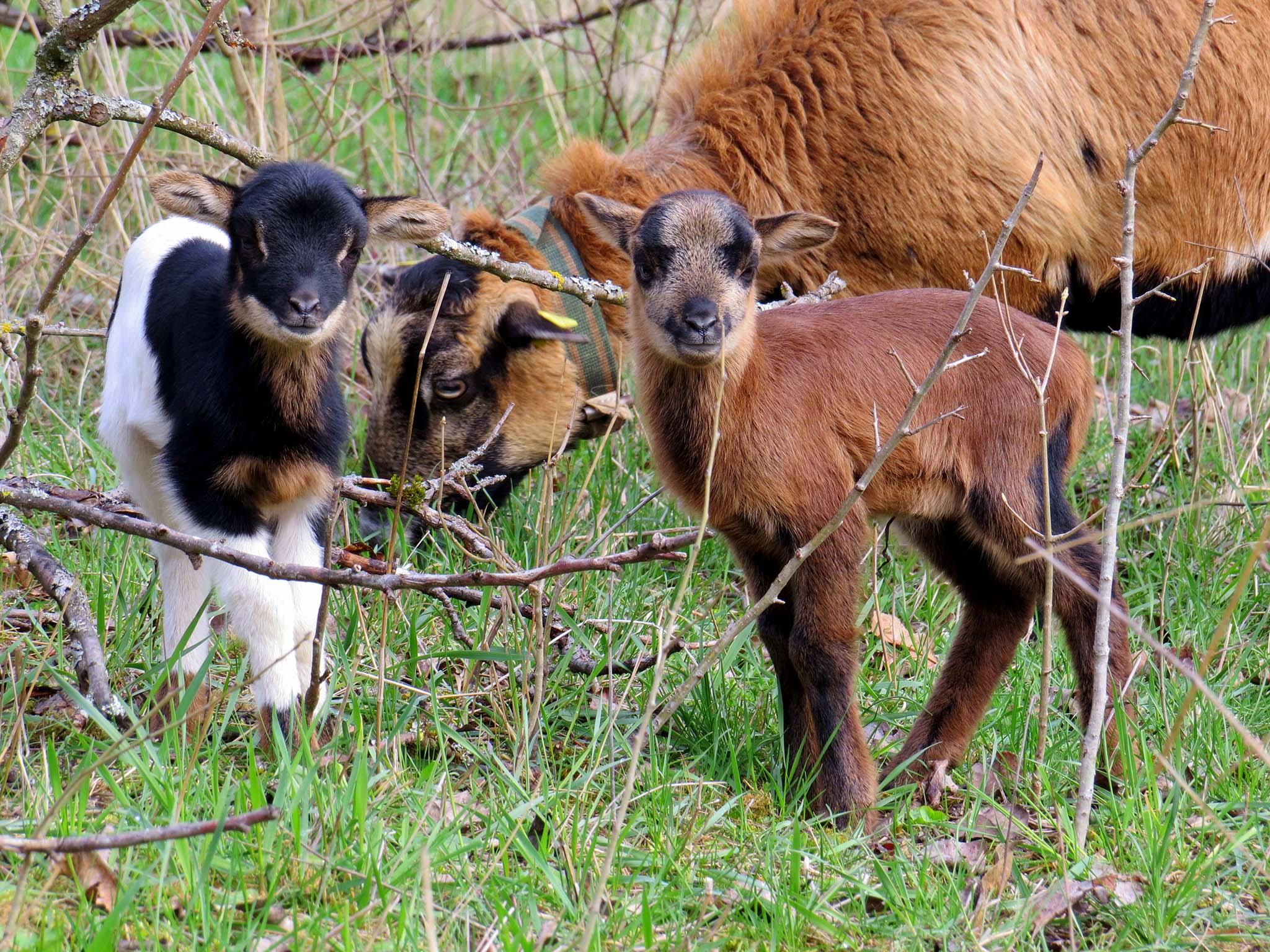 Dank Jens können diese Schafe zur Beweidung verwildeter Obstbaumwiesen beitragen. Foto: Jens Hörl.