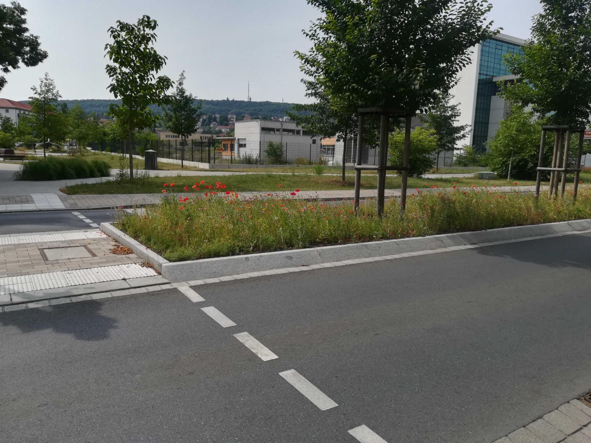 In der Mainaustraße in Würzburg sind Verkehrsinseln bereits bienenfreundliche bepflanzt worden. Foto: Jessica Hänse