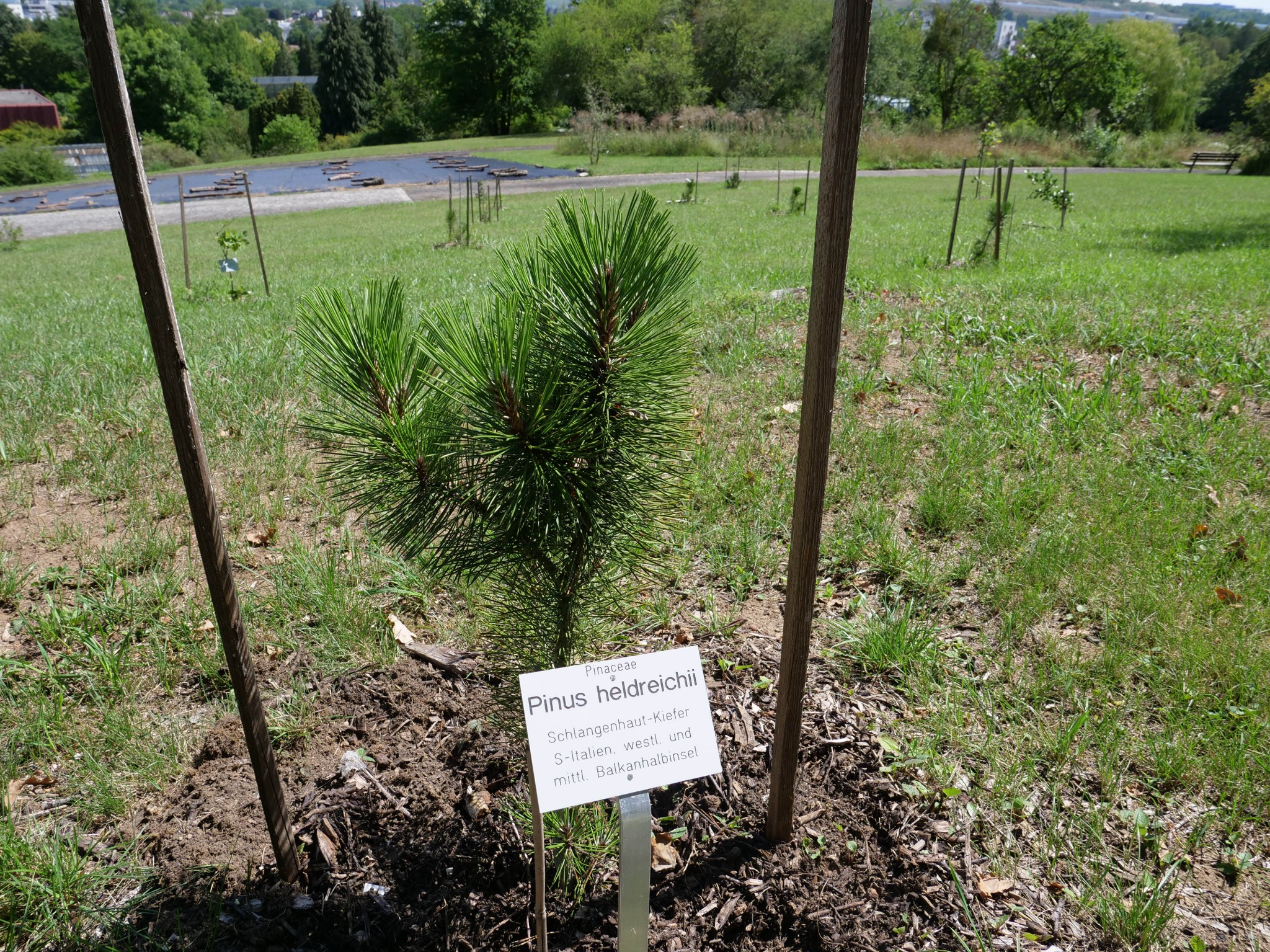 Auf einer neuen Versuchsfläche haben die Gärtner jetzt Bäume aus südlichen Gefilden gepflanzt. Foto: Gunnar Bartsch