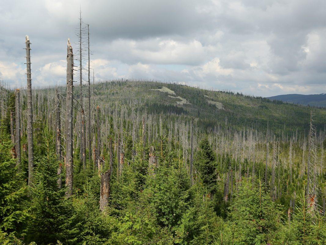 Durch Borkenkäfer abgetötete Fichten am Lusen im Nationalpark Bayerischer Wald. Foto: Simon Thorn / Universität Würzburg
