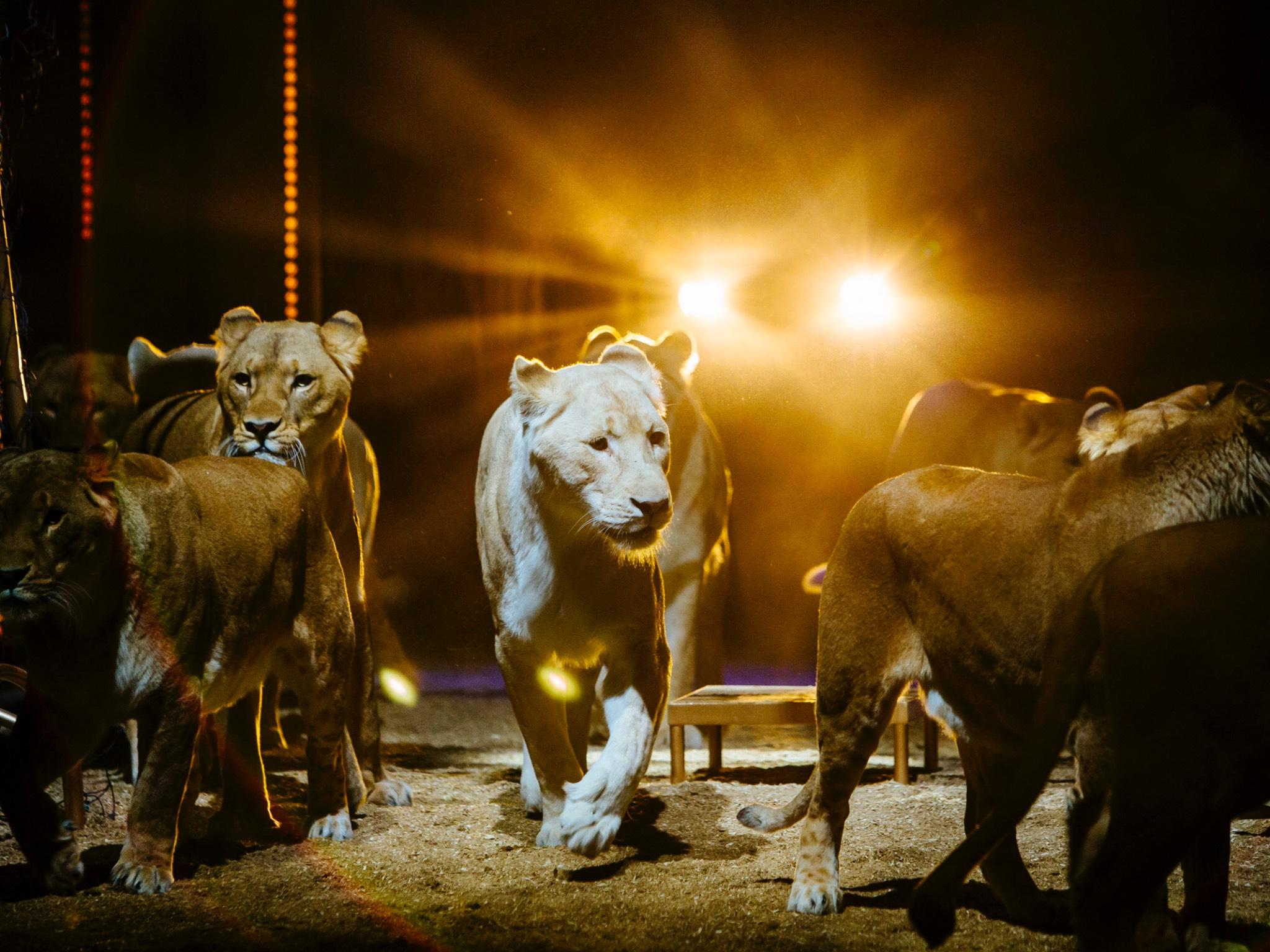 Circus Krone setzt sich entgegen der Meinung vieler Kritiker sehr für das Wohl der Tiere ein. Foto: Circus Krone