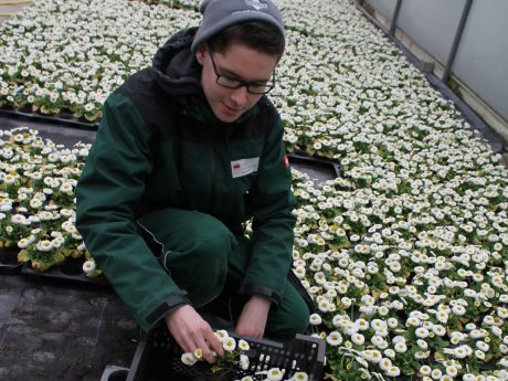 Leon Hergenröther, Auszubildender in der Gärtnerei des Gartenamtes, richtet Gänseblümchen für die Pflanzung. Foto: Gartenamt/ Georg Keller