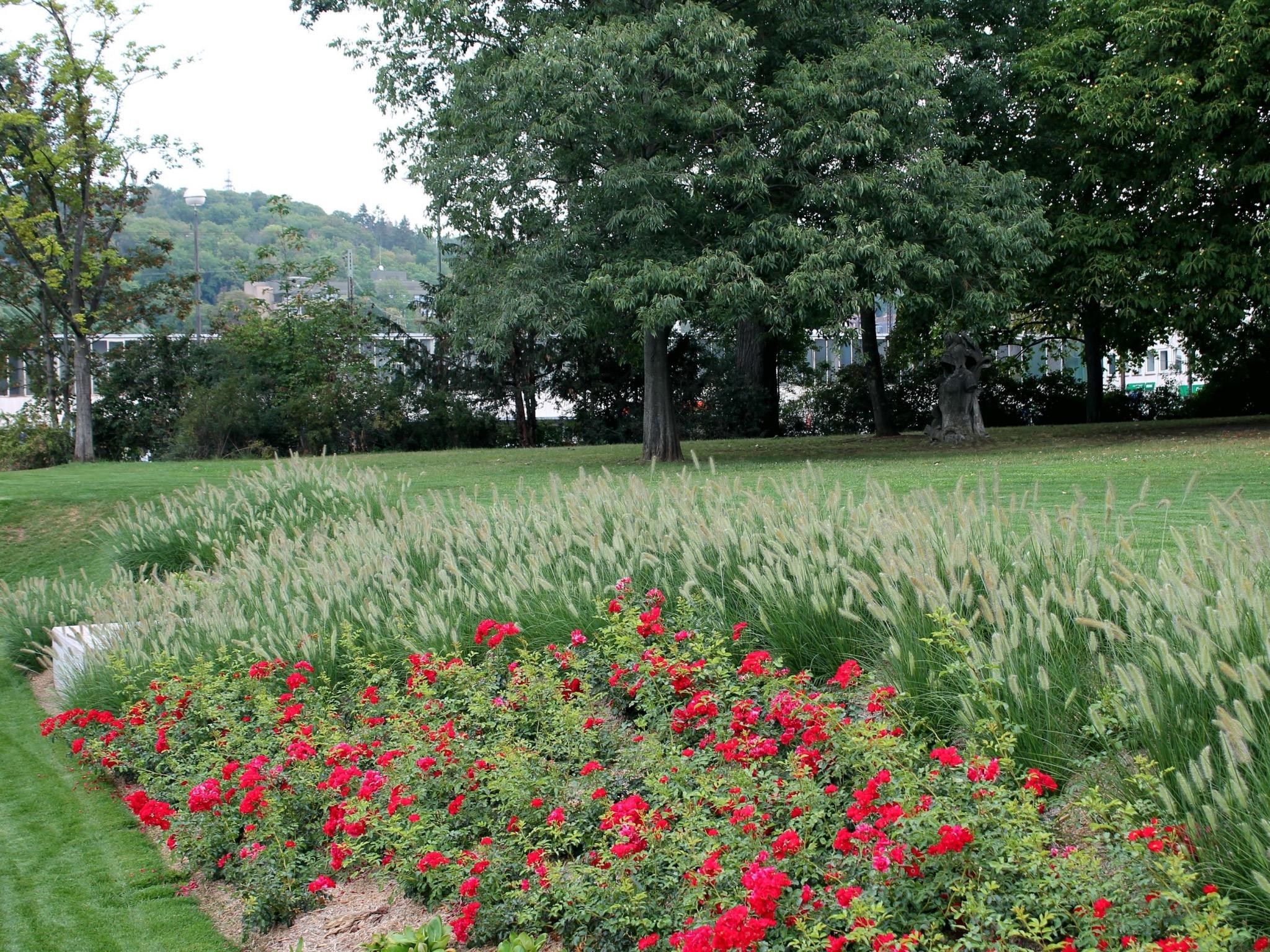 Attraktive Böschungsbepflanzung mit Rosen und Lampenputzergräsern. Foto: Gartenamt/Katharina Lampert