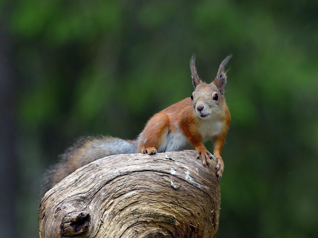 Neugieriges Eichhörnchen. Foto: Heinz Ehrsam