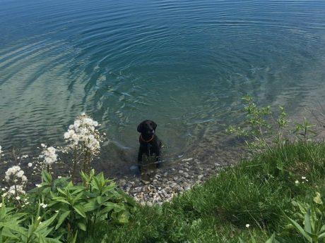 Beim 1. Hundeschwimmtag dürfen nur Hunde ins Freibad-Becken. Foto: Rena Schimmer